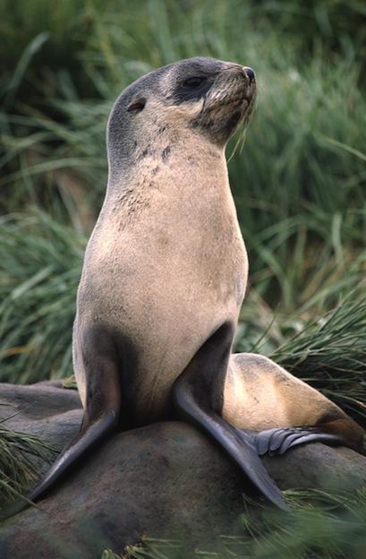 Características físicas de los leones marinos.