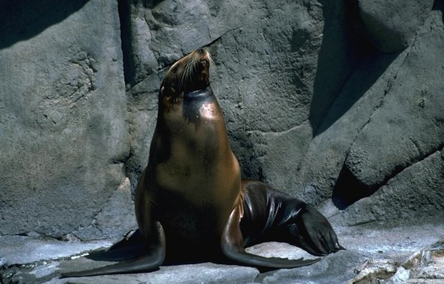 Sea Lion Anatomy - Sea Lion Facts and Information