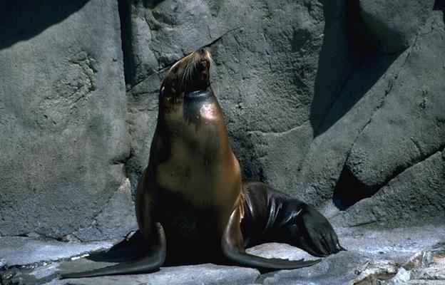 Descripción del león marino.