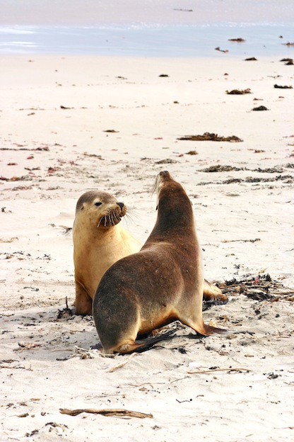 Australian sea-lion, endangered species
