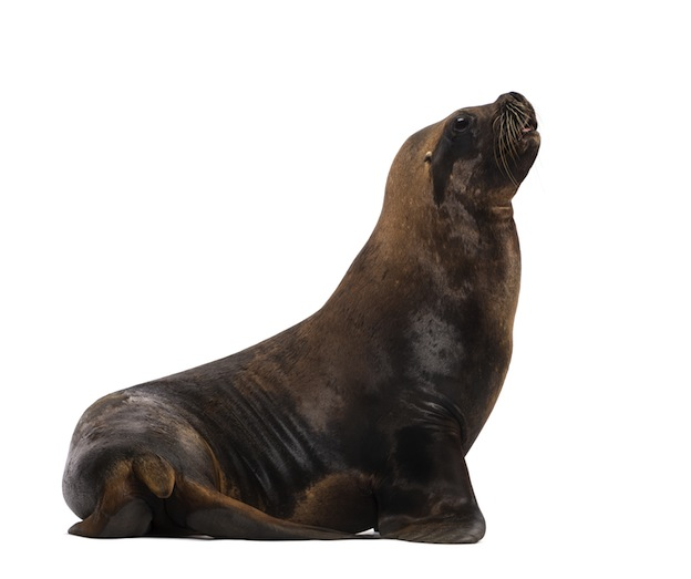 Information about Sea Lion Species
