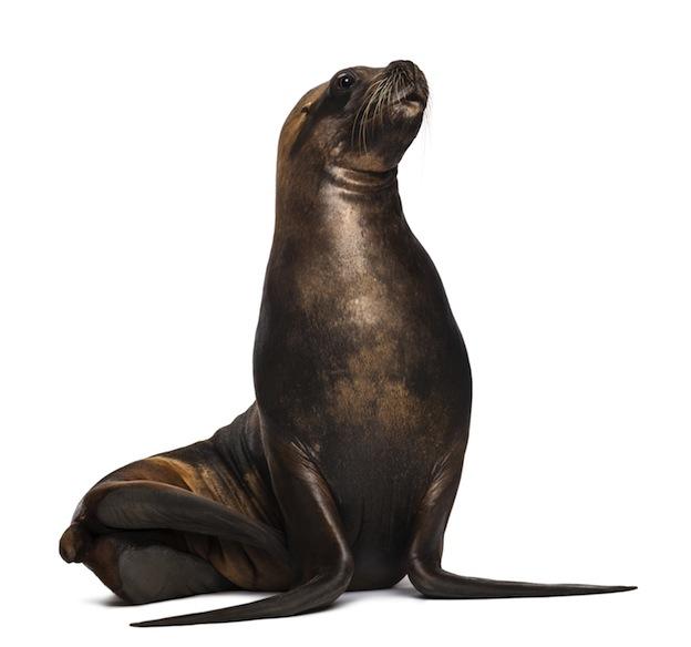 California Sea Lion, native to North America