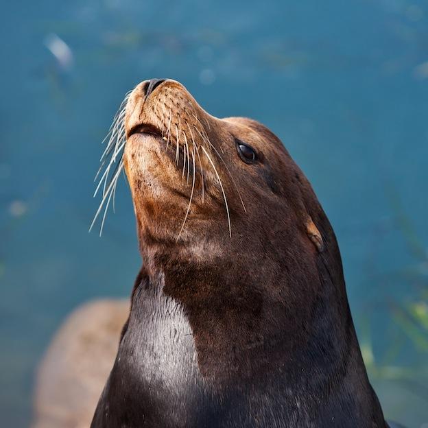 Descripción del león marino de California.