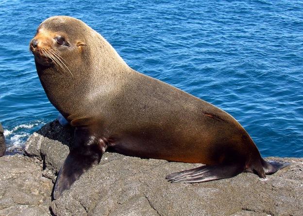 Galapagos Fur Seal - Photo taken by D. Gordon E. Robertson