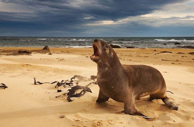 Information about New Zealand Sea Lion.