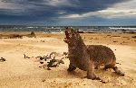 New Zealand Sea Lion Barking