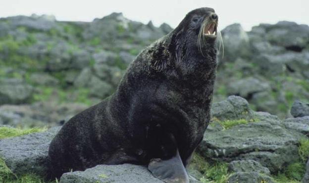 Northern fur seal Information