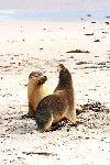 Pair Of Australian Sea Lions