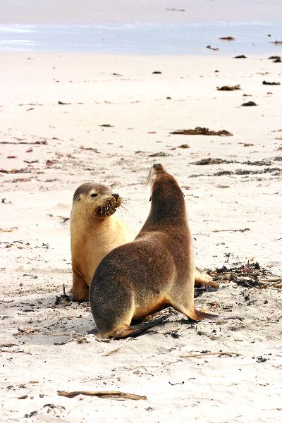 Pair Of Australian Sea Lions
