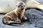Sea Lion Puppy In Galapagos Islands