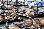 Sea Lions In San Francisco USA