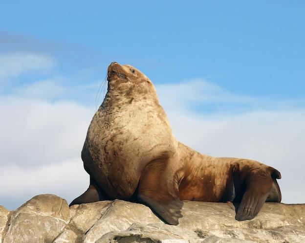 Características del león marino de Steller.