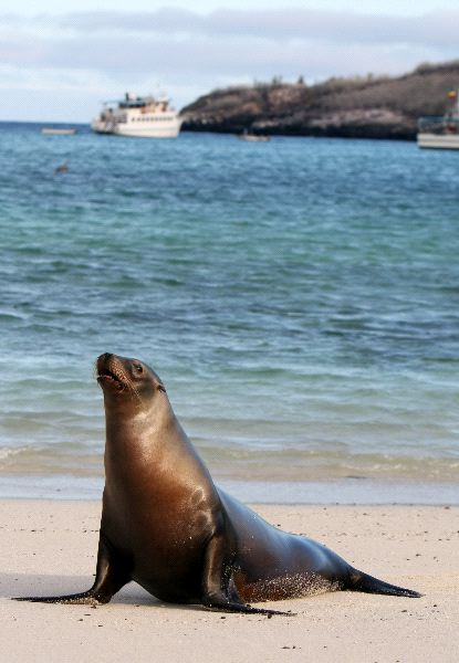Young Sea Lion In A Coast Of Ecuador