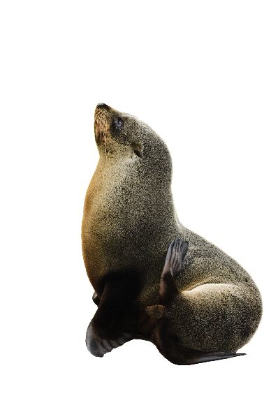 Young Sea Lion On White Background