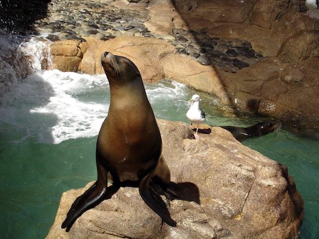 Leones marinos en acuarios.