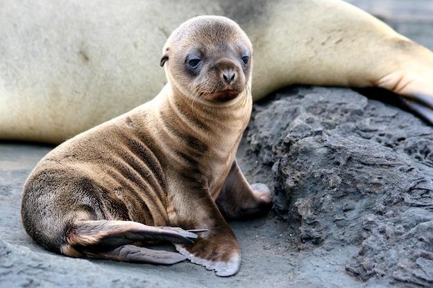 Descripción del león marino de las Galápagos.