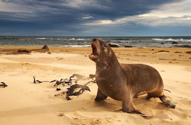 Descripción del león marino de Nueva Zelanda.