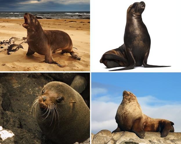 Especies de león marino.