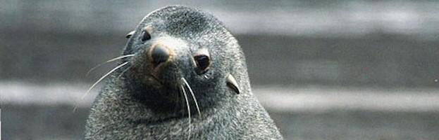 Lobo Marino Antártico
