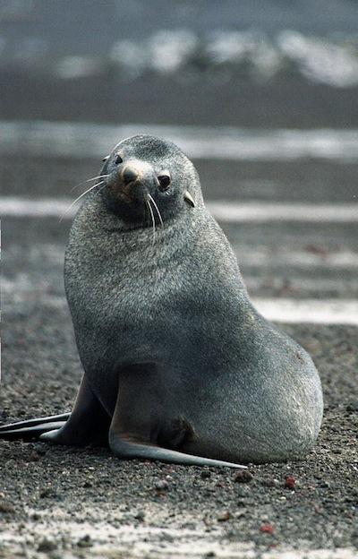 Características del Lobo marino antártico.