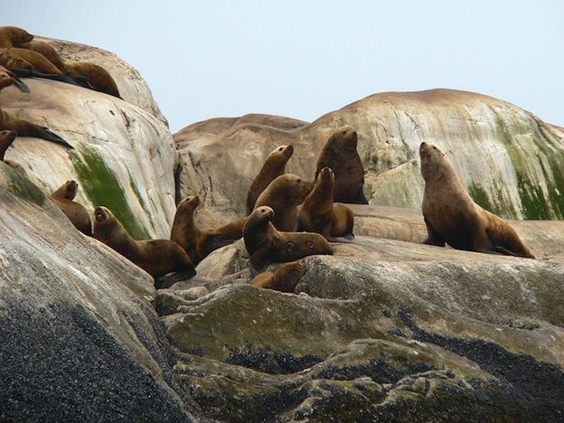 Distribución global de los leones marinos.